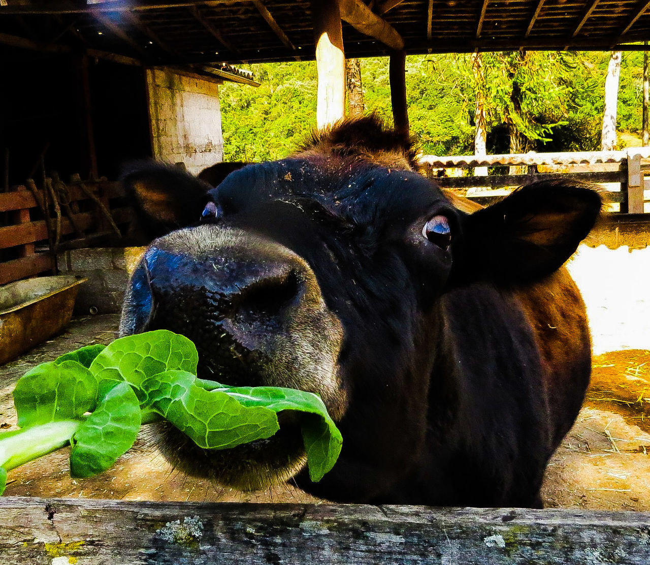 Beautiful stock photos of cow, Animal Themes, Close-Up, Cow, Day
