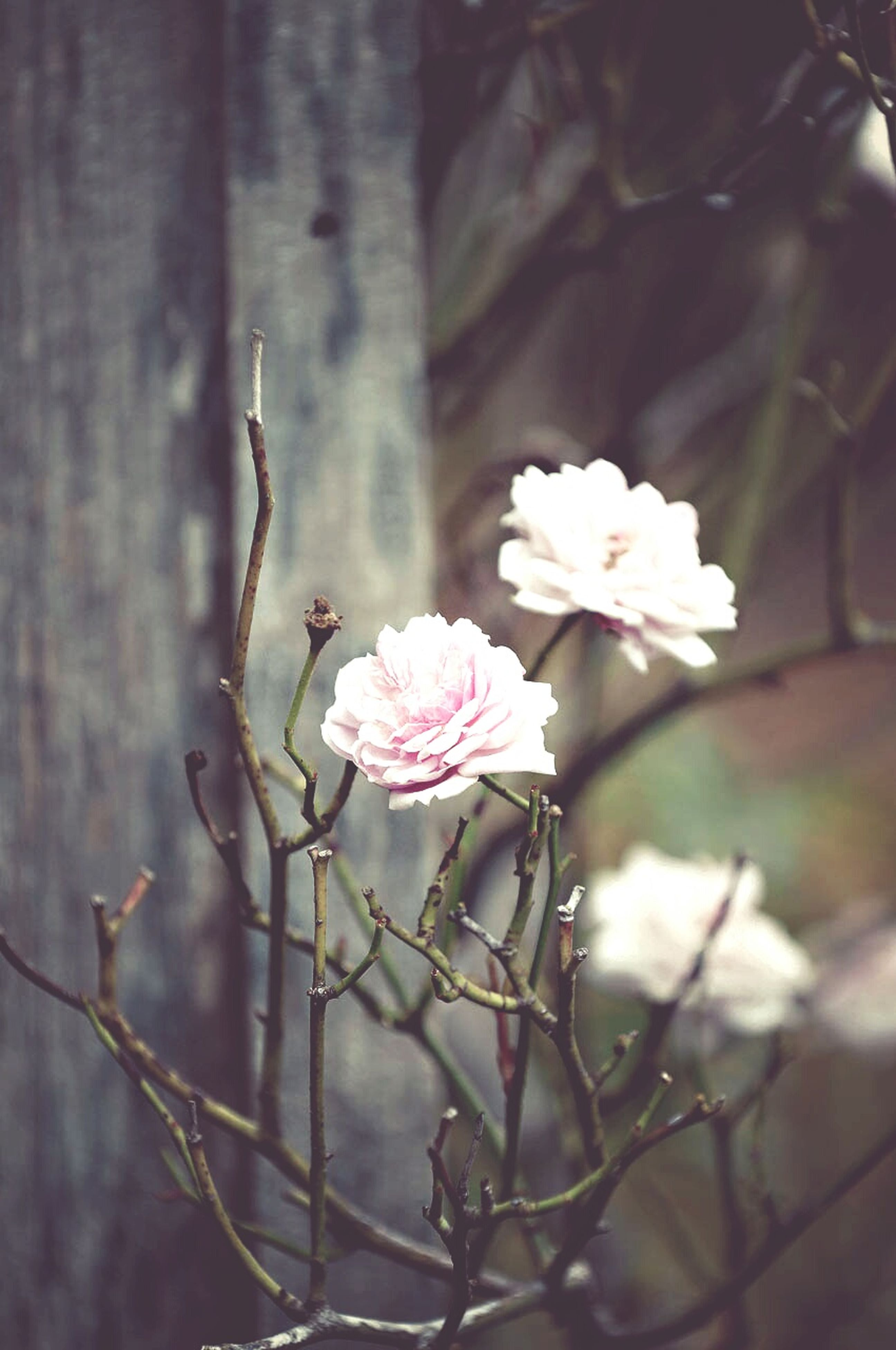 flower, freshness, fragility, growth, petal, branch, beauty in nature, focus on foreground, close-up, nature, blossom, flower head, blooming, white color, in bloom, stem, tree, twig, plant, springtime