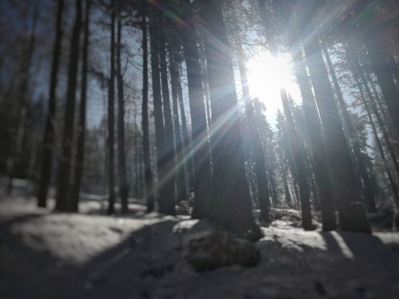 nature, tree, tranquility, beauty in nature, sunbeam, sunlight, forest, no people, tranquil scene, low angle view, day, outdoors, sun, growth, tree trunk, scenics, snow, winter, landscape, sky
