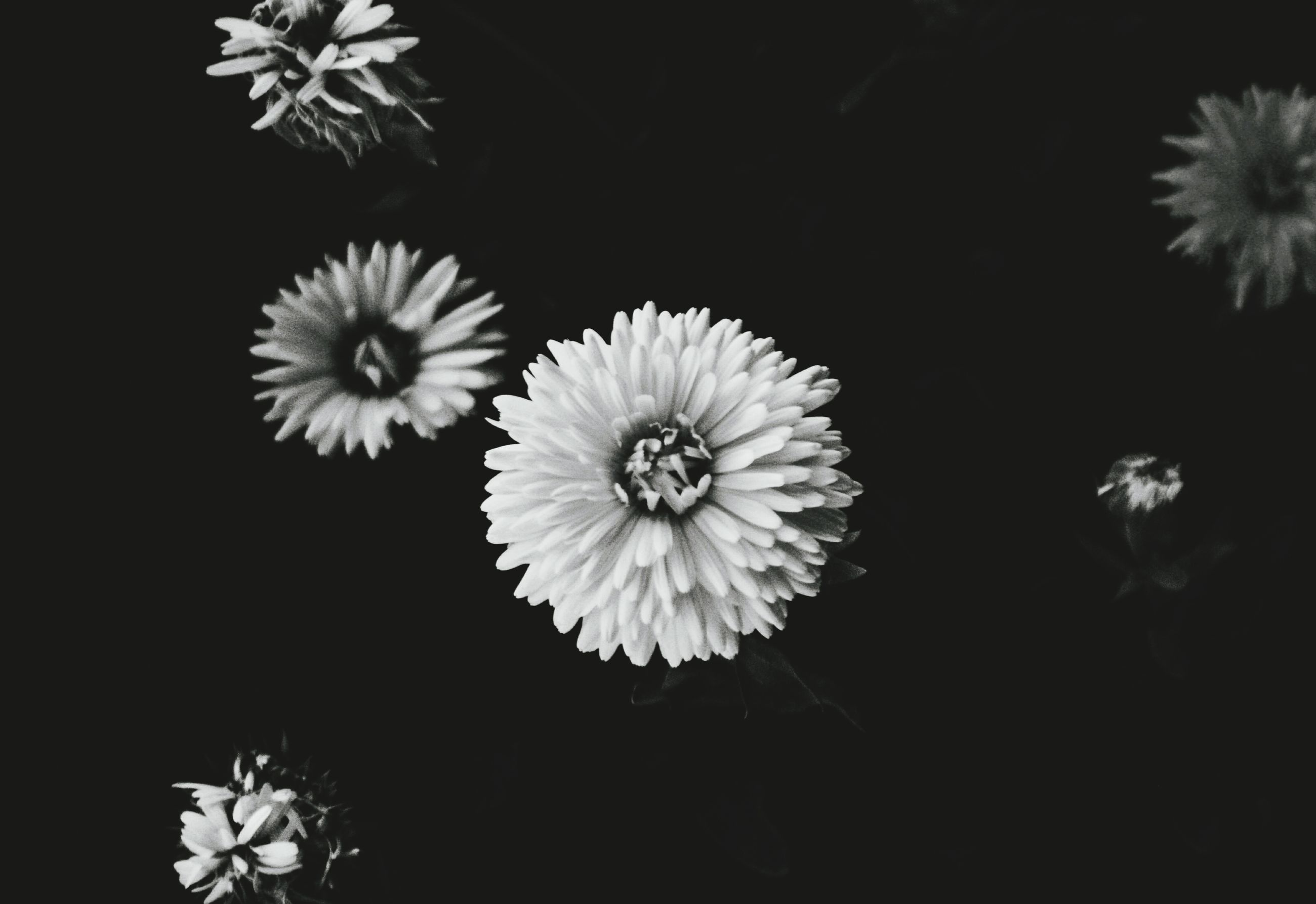 flower, fragility, flower head, beauty in nature, nature, petal, freshness, plant, no people, blooming, gerbera daisy, close-up, outdoors, day, osteospermum