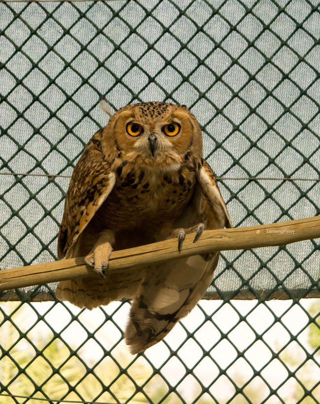 Animal Themes Animal Wildlife Animals In Captivity Animals In The Wild Bird Bird Of Prey Cage Close-up Day Looking At Camera Mammal Nature No People One Animal Outdoors Owl Perching Portrait Trapped