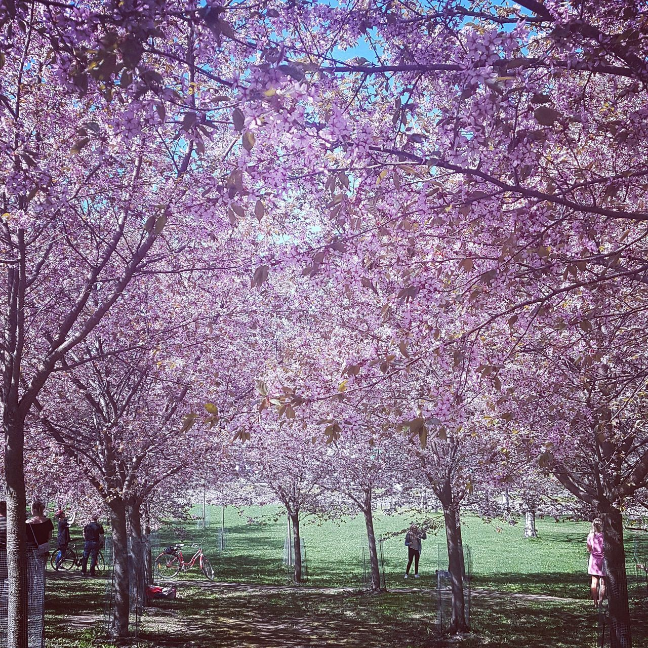 tree, blossom, cherry blossom, beauty in nature, flower, cherry tree, branch, nature, springtime, almond tree, growth, freshness, pink color, tranquility, fragility, park - man made space, scenics, pink, no people, tranquil scene, tree trunk, outdoors, spring, day, landscape, blooming, sky