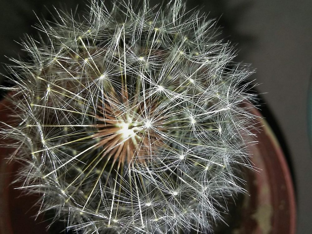 Dandelion Close-up Outdoors Beauty In Nature Nature Fragility No People Flower Weed Blossom Springtime Plant Day Nature Beauty In Nature Flower Head Botany Growth Potted Freshness