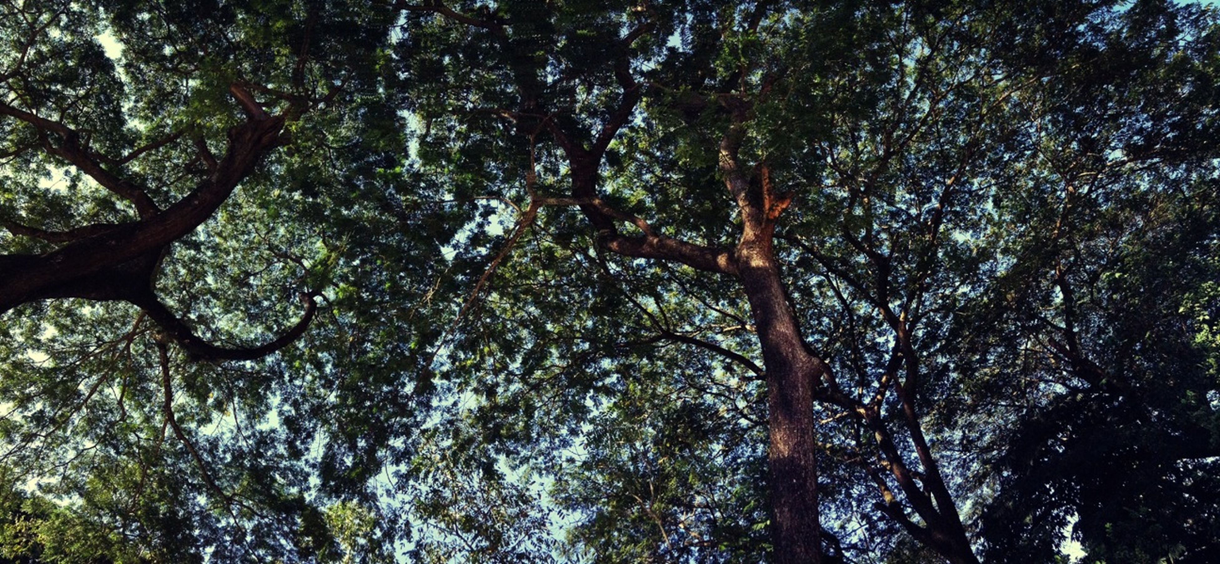 tree, low angle view, growth, forest, tranquility, nature, branch, tree trunk, beauty in nature, tranquil scene, woodland, day, scenics, outdoors, no people, sky, green color, backgrounds, full frame, sunlight