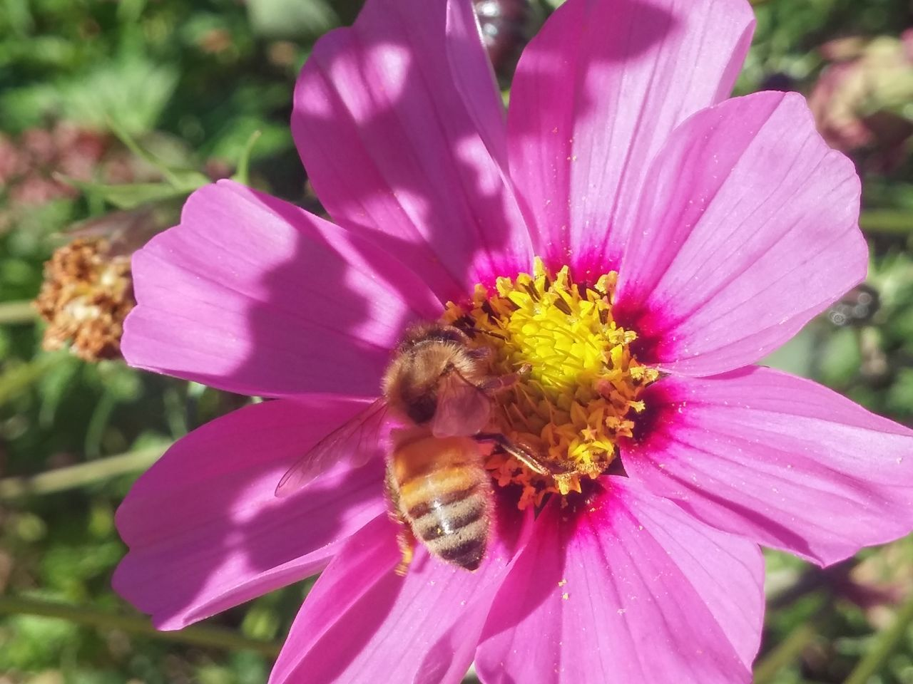 https://youtu.be/aYAJopwEYv8 🐝🐝 🐝dance Of The Bee🐝 Flower Pink Color Petal Nature Flower Head Insect Plant Fragility Outdoors Beauty In Nature Cosmos Flower Freshness Exceptional Photographs Focus On Foreground Autumn In New Zealand Cosmos Cosmos In My Garden One Insect Bee Close-up 3 Pollen Purple Plant
