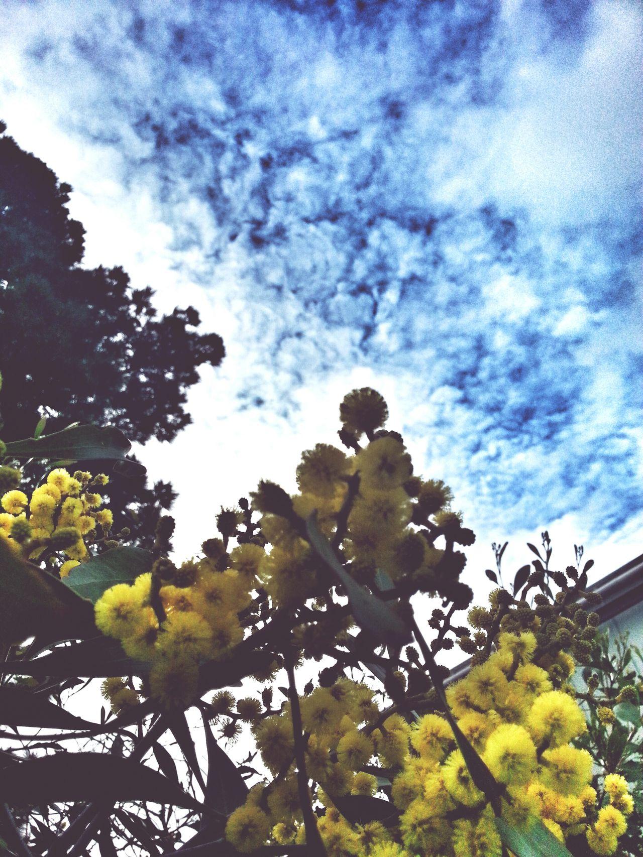 Native Golden wattle tree in full winter bloom. Melbourne EyeEm Melbourne Victoria, Australia Eyeem Australia Snapseed My Perspective Australia Winter Blooms Flowers,Plants & Garden EyeEm Best Shots - Nature