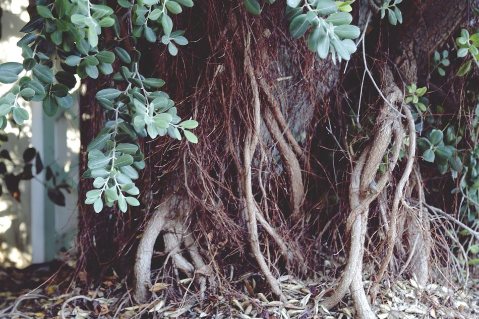 Beauty In Nature Branch Close-up Day Forest Growth Ivy Leaf Nature No People Outdoors Plant Thick Tree