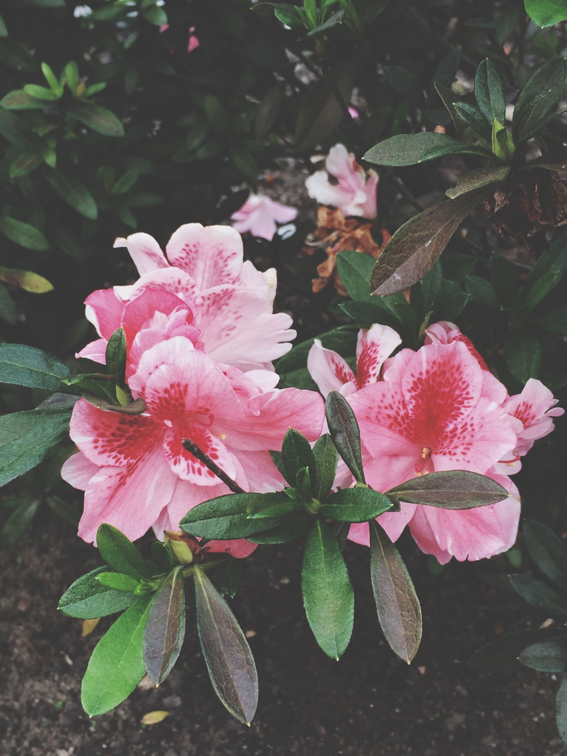 flower, freshness, pink color, petal, fragility, growth, leaf, flower head, beauty in nature, plant, nature, close-up, blooming, high angle view, pink, in bloom, outdoors, day, no people, park - man made space