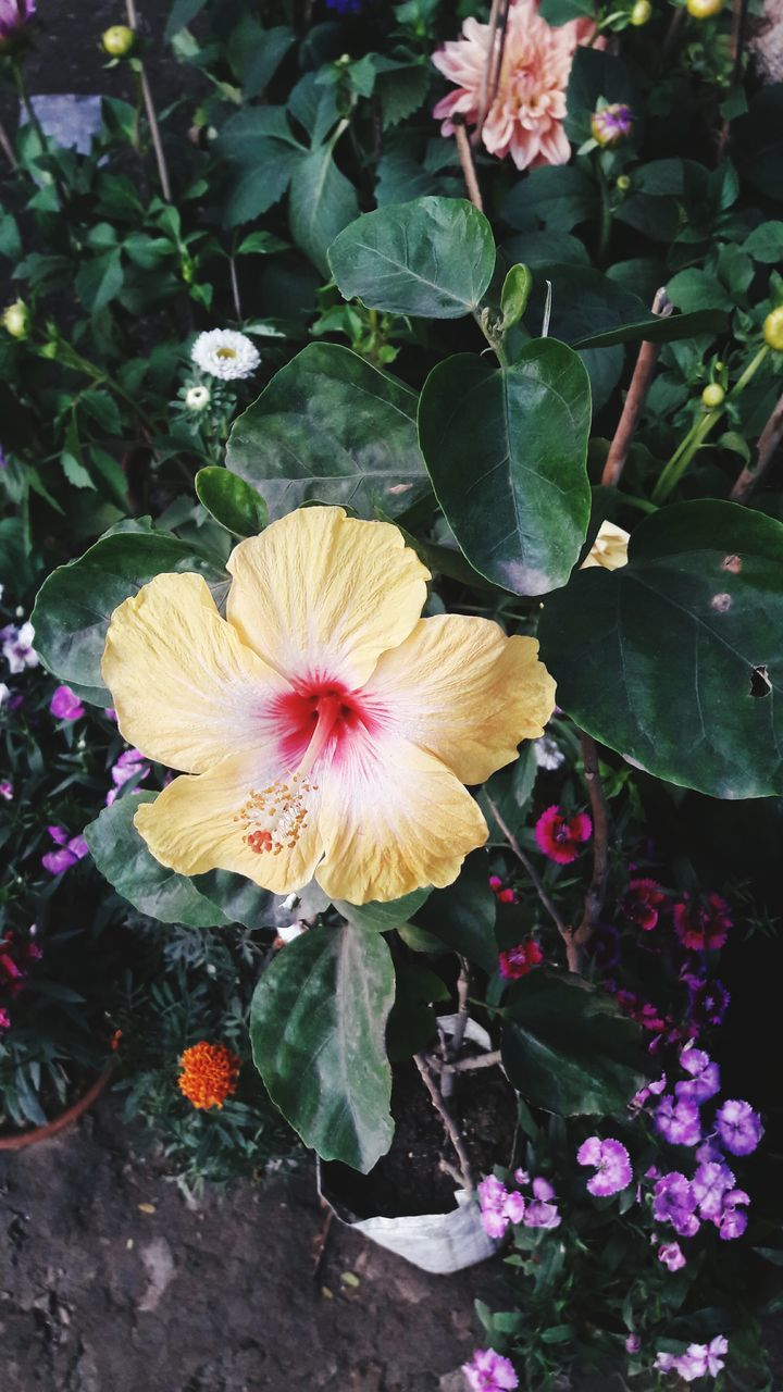 flower, fragility, petal, plant, flower head, growth, nature, beauty in nature, leaf, freshness, outdoors, no people, day, blooming, yellow, close-up, hibiscus