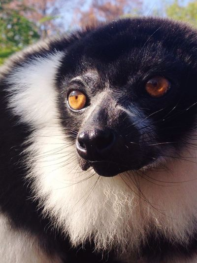 Outdoors Life Nature Lemur Pets Looking At Camera Animal Themes Capture The Moment Enjoying Life Cuteness Golden Eye Sweetness Love Jasmine Zoom In Portrait Females Safari Animals Wildlife & Nature Freedom Free Spirit My Shot  The Week On EyeEm