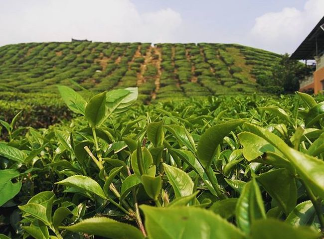 Tea plantation. Cameronhighlands CameronValley Cameronvalleytea Breakfaststopbeforedepart Daunteh