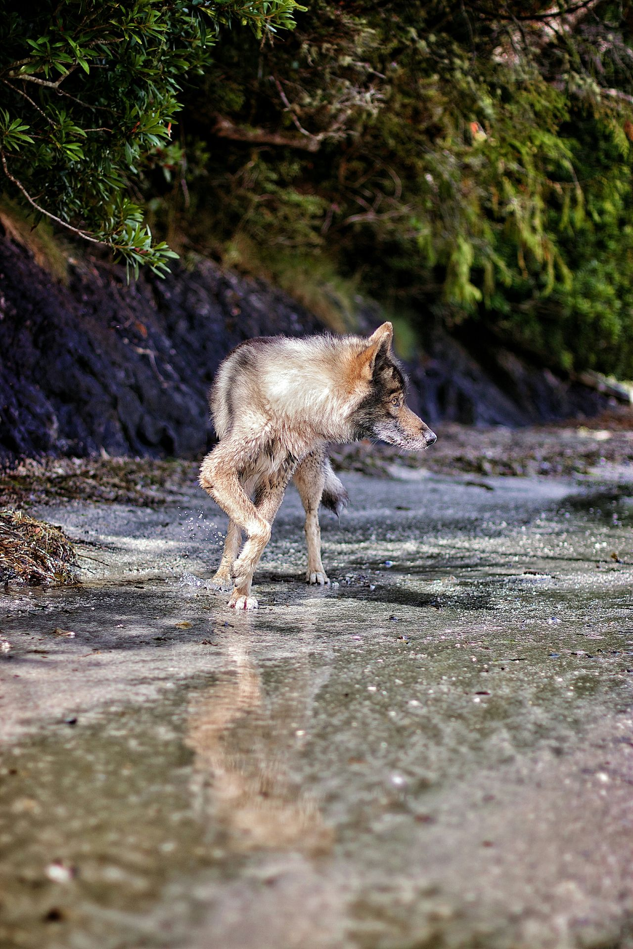 Beautiful stock photos of wolf, Animal Themes, Canine, Day, Dog