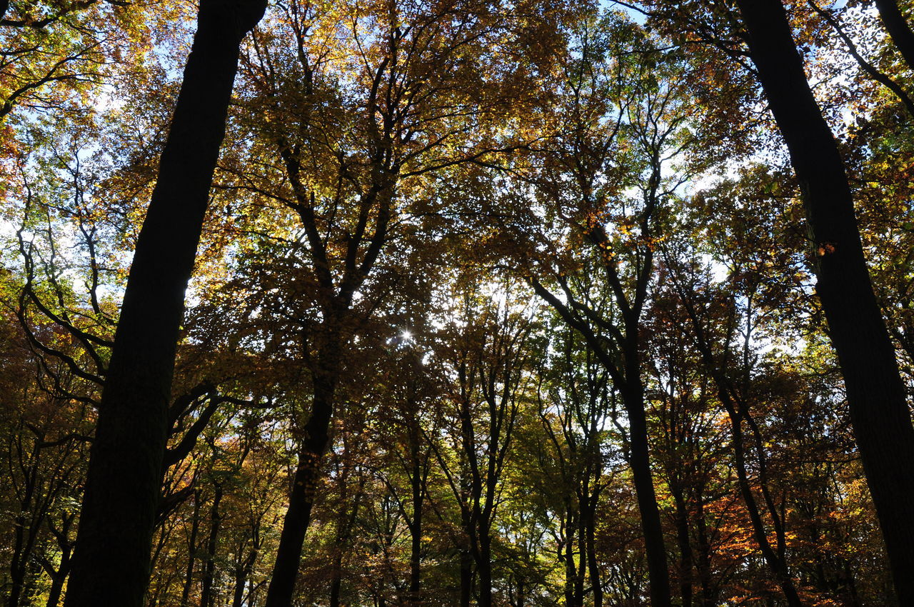tree, forest, nature, tree trunk, low angle view, beauty in nature, tranquility, growth, scenics, woodland, tranquil scene, outdoors, day, non-urban scene, autumn, no people, branch, tree canopy, tree area, leaf, sky, wilderness area