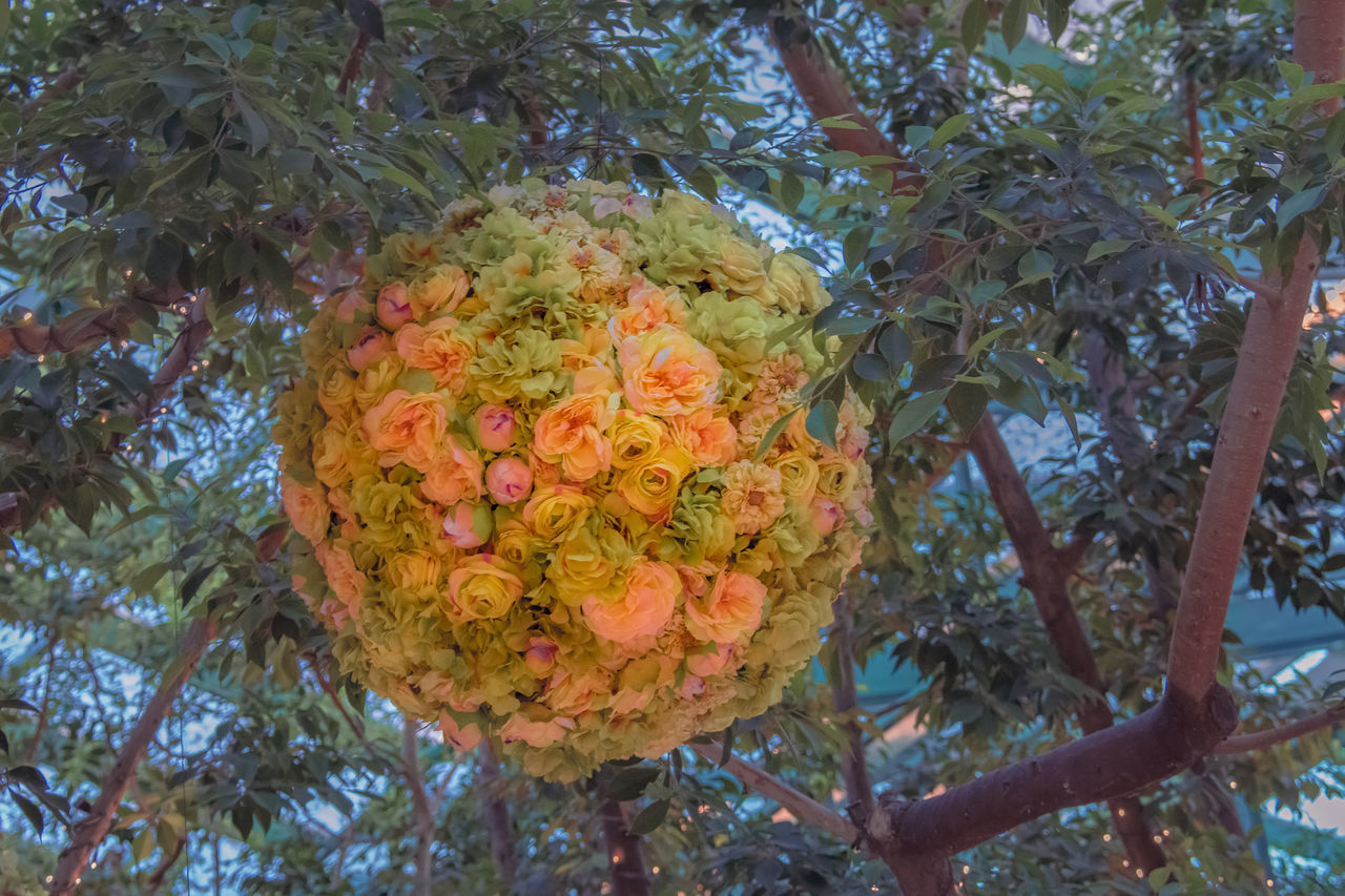A Ball of Roses Ball Of Roses Beauty In Nature Close-up Growth Low Angle View No People Roses Flowers  Tree