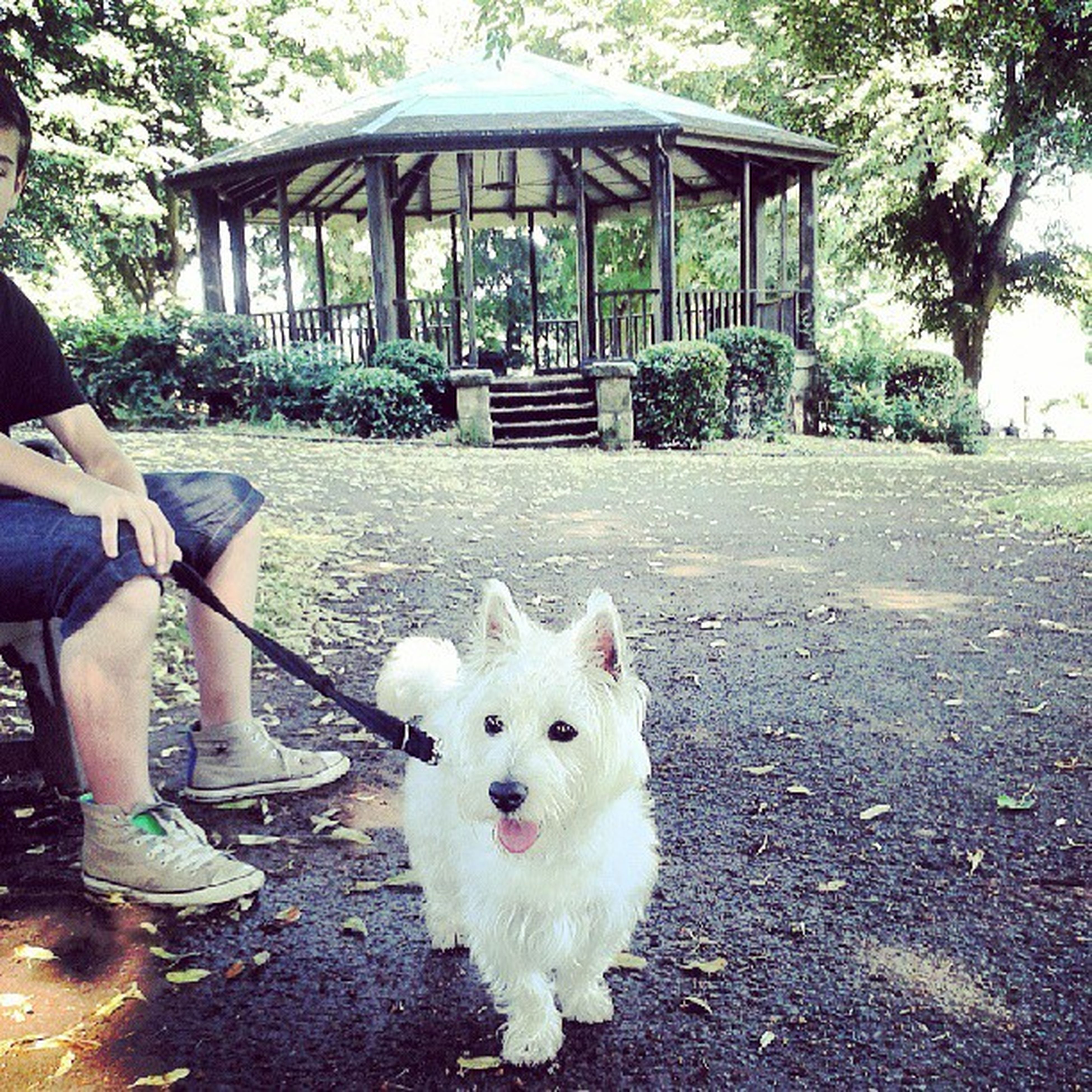 Just A Sunny Day In The Park With Our Ikkle Puppy Dog Iloveyou Maisey White Westie Outside Beautiful Hot Temp Weather
