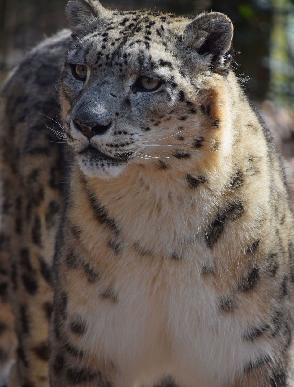 Snow leopard (Panthera uncia) portrait, close up Animal Wildlife Animals In The Wild Cat Cat Lovers Close Up Close-up Day Feline Leopard Leopard Print Leopards Low Angle View Male Mammal Nature One Animal Outdoors Panthera Uncia Portrait Predator Predatory Snow Leopard Wildlife Wildlife & Nature Wildlife Photography