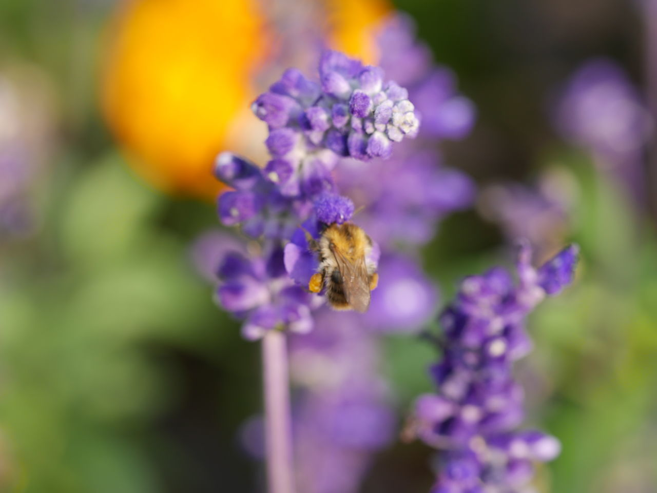 flower, purple, nature, one animal, beauty in nature, bee, animal themes, insect, fragility, petal, animals in the wild, growth, animal wildlife, lavender, no people, honey bee, plant, pollination, day, close-up, freshness, outdoors, buzzing, flower head