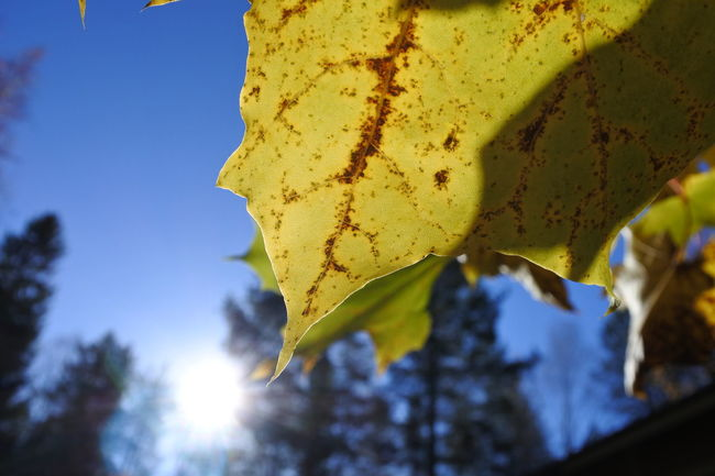 Autumn Back Lit Beauty In Nature Blue Close-up Day Green Color Leaf Low Angle View Nature Sky Sun Sunlight Yellow