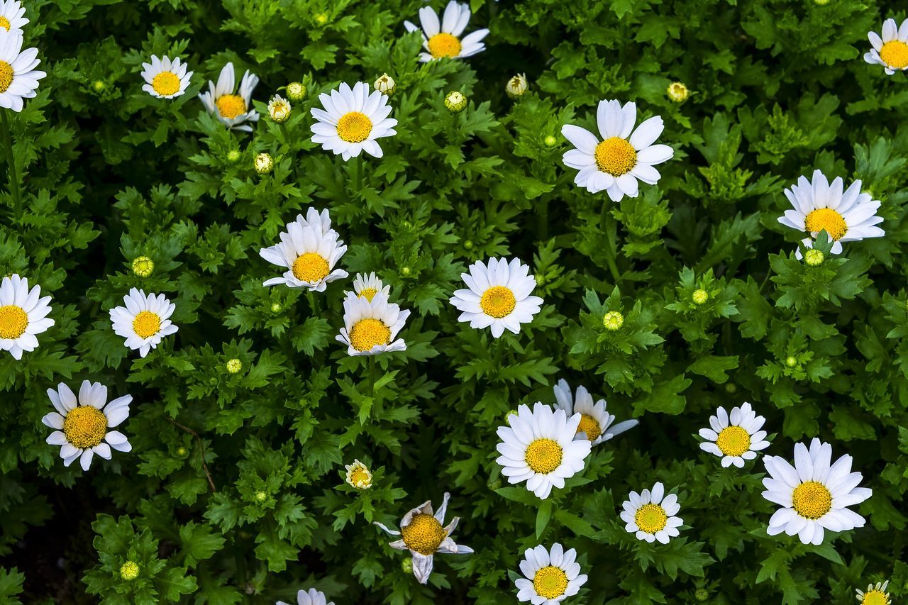 High Angle View Of Daisies Blooming At Park