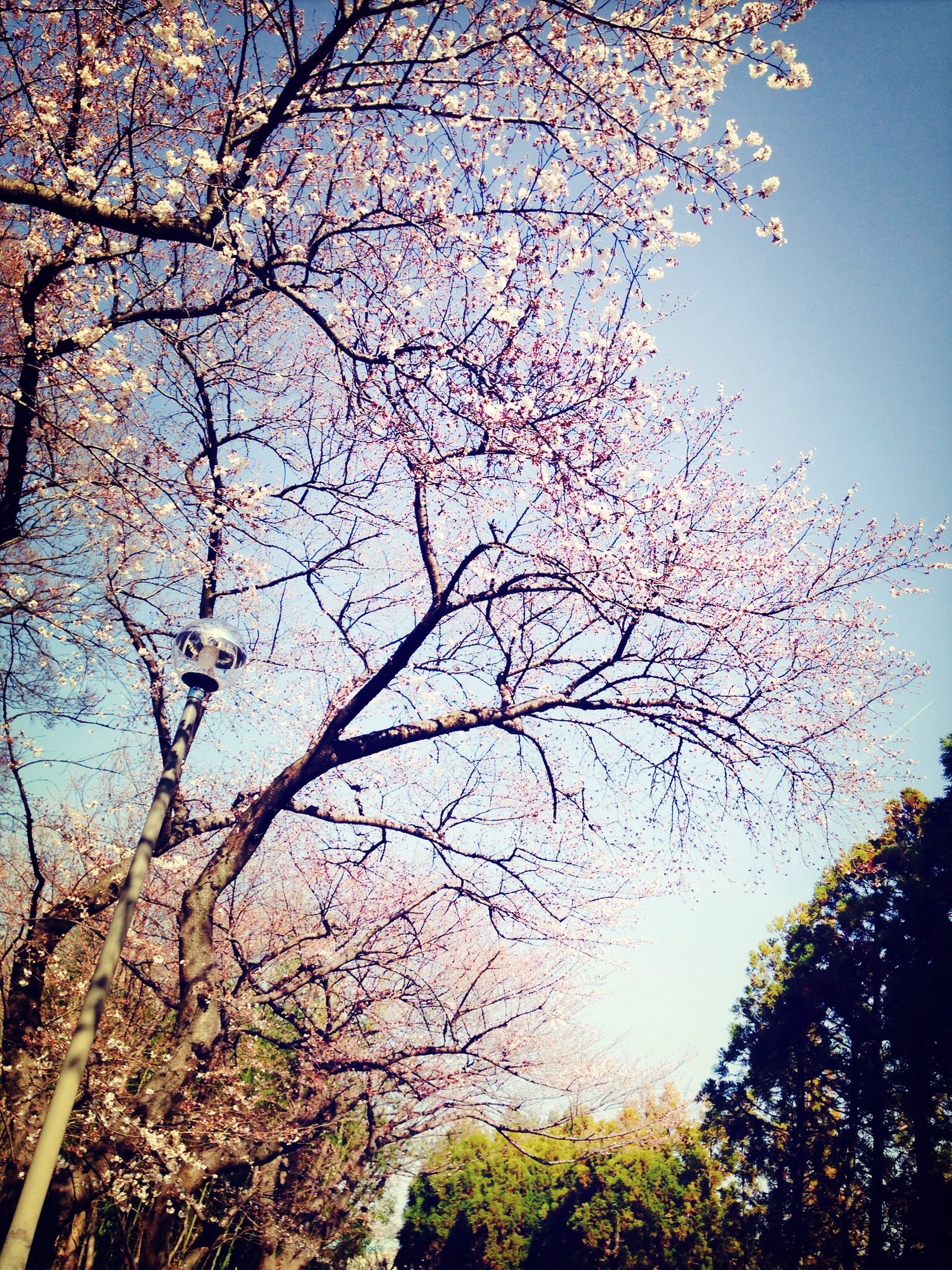 tree, branch, low angle view, growth, beauty in nature, nature, tranquility, sky, scenics, flower, clear sky, bare tree, tranquil scene, outdoors, no people, day, idyllic, freshness, sunlight, twig