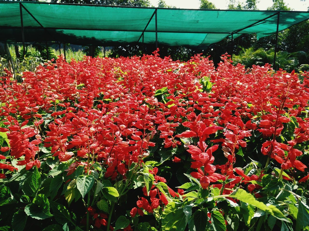 Flower Growth Nature Beauty In Nature Plant Fragility Freshness Red Blossom Greenhouse No People Blooming Day Flower Head Outdoors Close-up