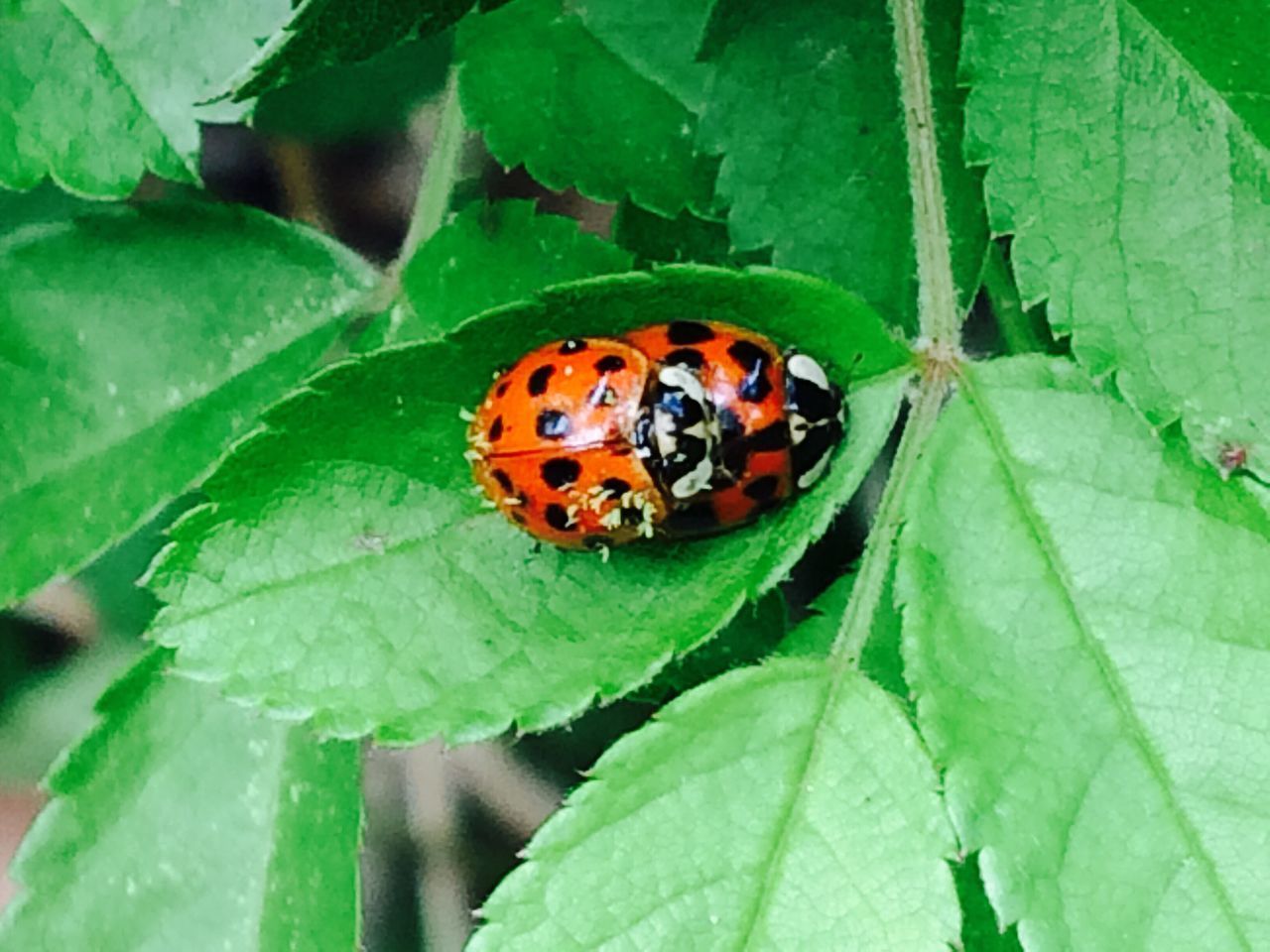 Love Bugs ??? LOL! Leaf Insect Green Color Animal Themes Animals In The Wild Plant Close-up No People One Animal Outdoors Day Growth Ladybug