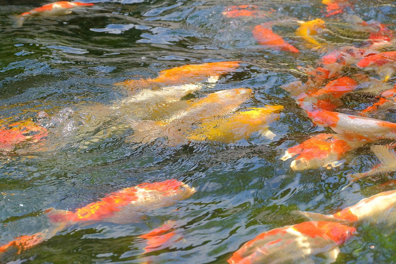 fancy carp fish in pond Animal Carp Fish Color Colorful Fancy Carp Fancy Carp Fish Feed  Feeding  Fish Pool Swarm