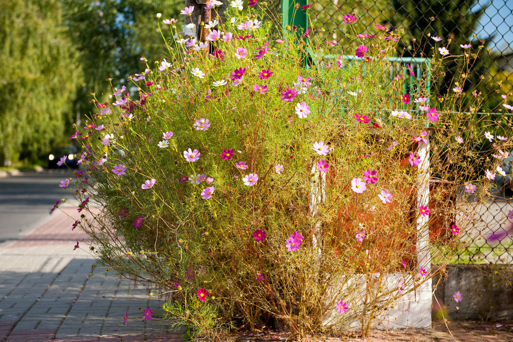 Bunch of Cosmos Bipinnatus called Cosmea Garden Cosmos or Mexican Aster, ornamental plant growing in garden. Aster Beauty In Nature Bloom Blooming Clump Cosmos Cosmos Bipinnatus Flower Flowering Flowers Garden Mexican Aster Nature No People Ornamental Outdoors Pink Plant Poland Summer Millennial Pink