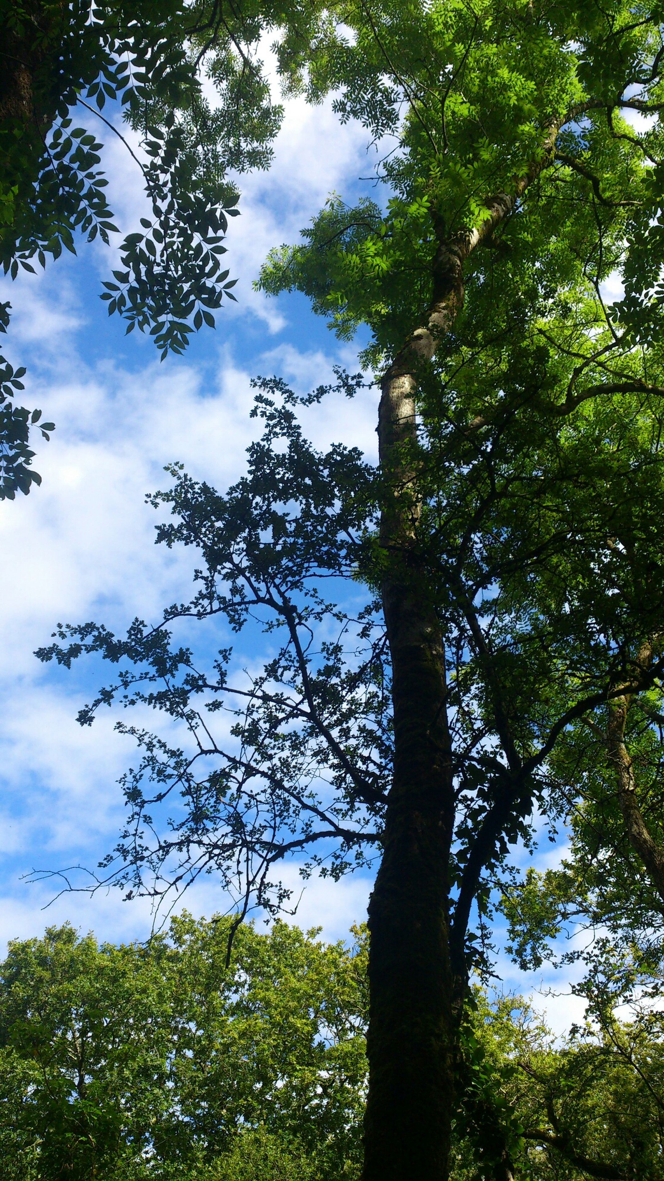 tree, low angle view, sky, growth, tranquility, green color, nature, branch, beauty in nature, tree trunk, tranquil scene, cloud - sky, scenics, cloud, forest, day, outdoors, no people, green, lush foliage