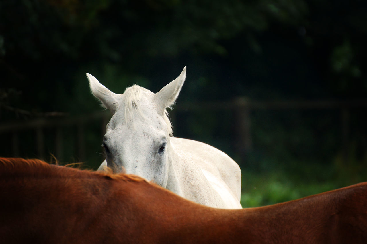 White horse hiding Animal Themes Attentive Beautiful Beauty In Nature Brown Horse Close-up Day Elegant Farm Farm Animal Fence Forest Hiding Horse Horseriding Listening Mammal Mane No People Outdoors Paddock Riding Shy Shyness White Horse