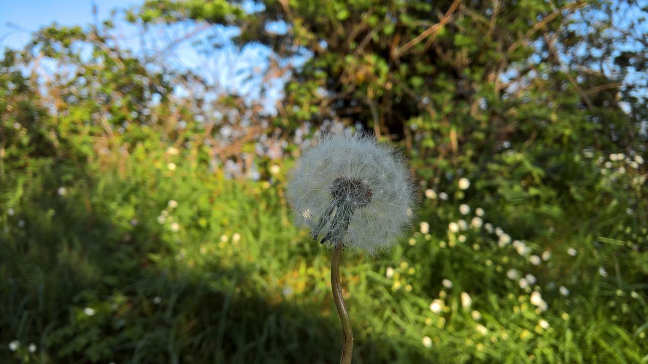 Beauty In Nature Close-up Dandelion Flower Focus On Foreground Fragility Nature No People Outdoors Plant Selective Focus Wildflower