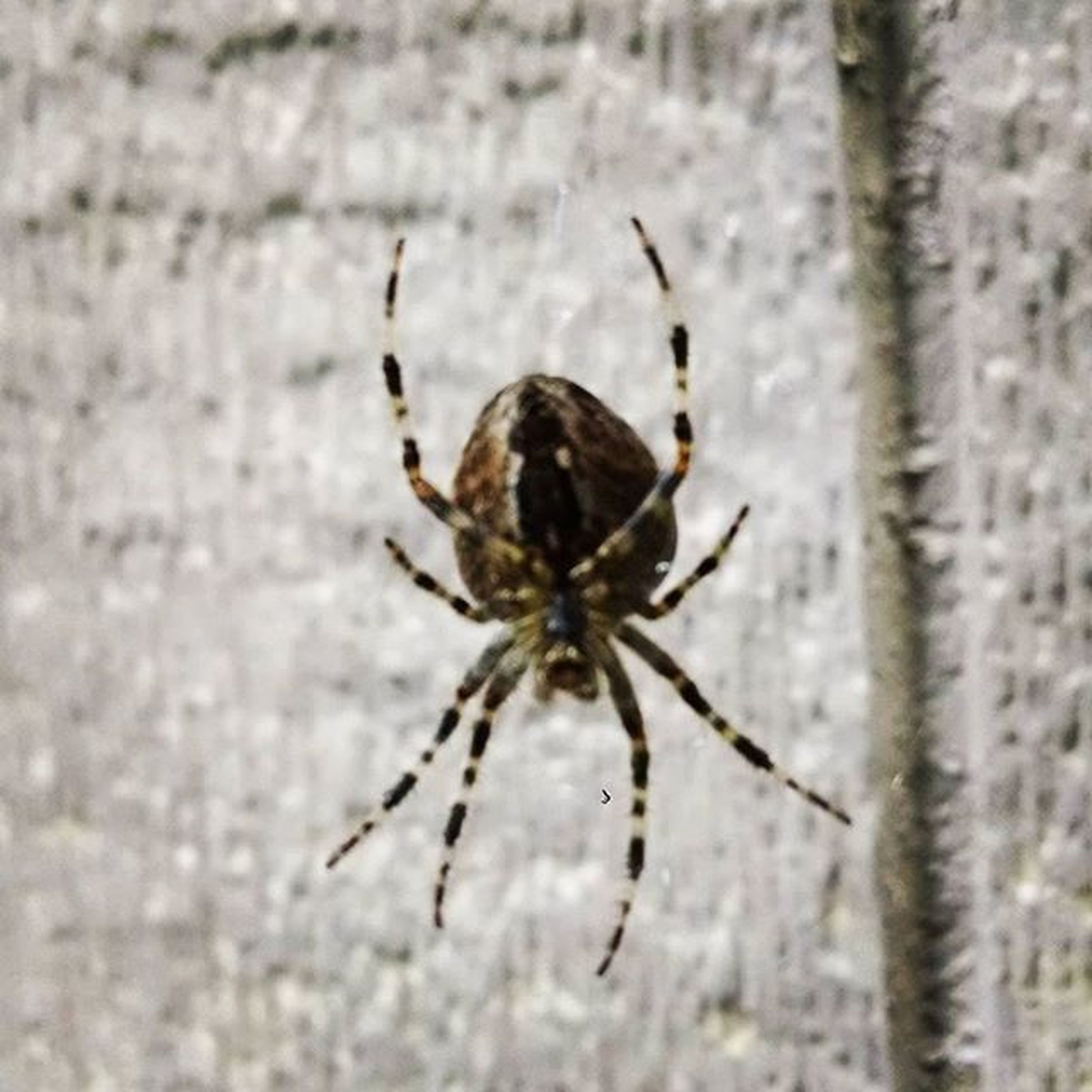 Big ol' orb spider out back Orbspider