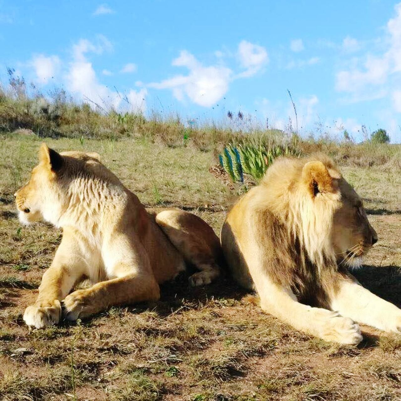 Animals In The Wild Animal Themes Mammal Day No People Animal Wildlife Lion - Feline Outdoors Sky Lying Down Nature Lioness EyeEmNewHere Travel Destinations Lions Lion King  Lion Outdoor Photography