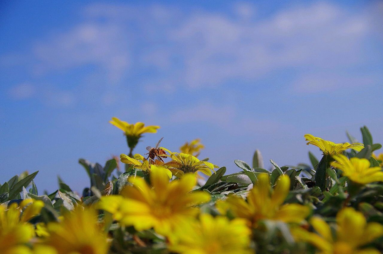 Honey Bee On Yellow Flowers Against Sky