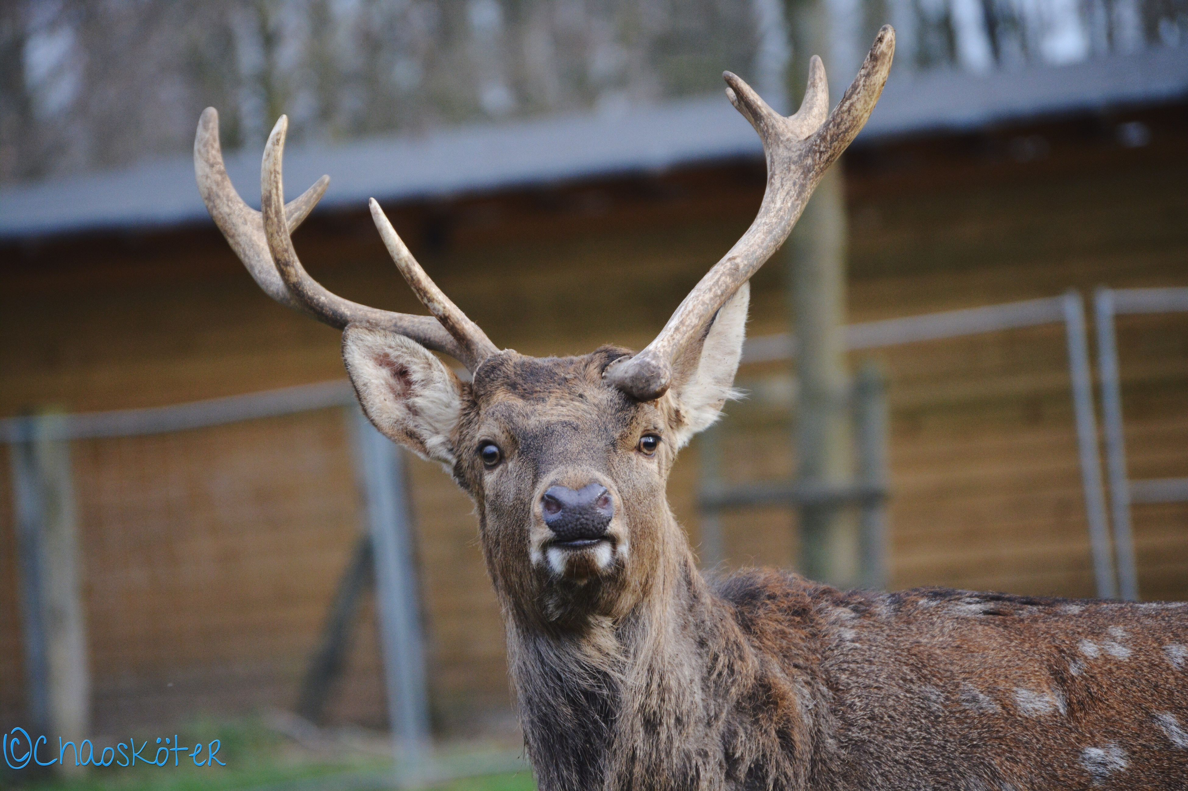 animal themes, one animal, mammal, animals in the wild, wildlife, focus on foreground, deer, horned, herbivorous, animal head, looking at camera, close-up, livestock, portrait, domestic animals, day, animal body part, zoology, no people, outdoors