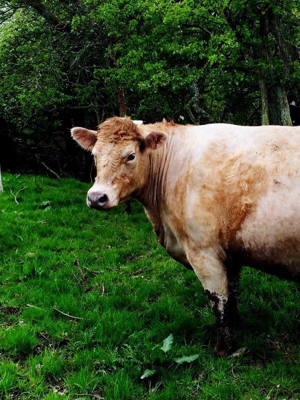 Cow Grantshouse Scottish Borders