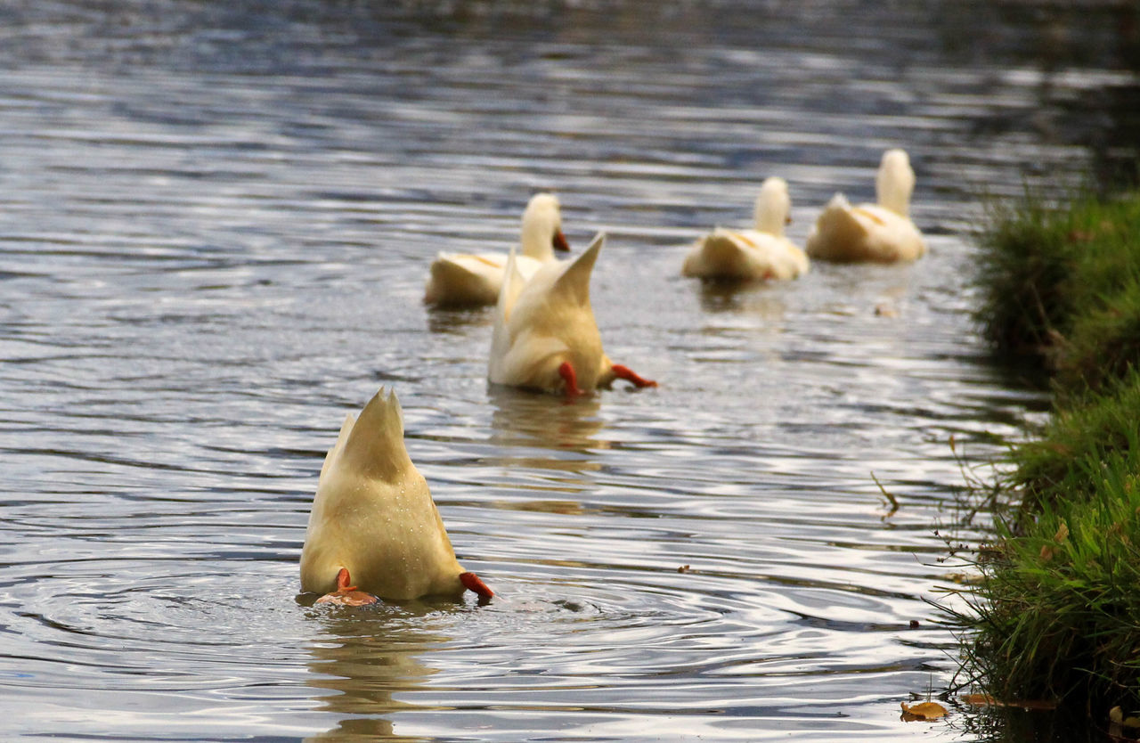 Animal Themes Animal Wildlife Animals In The Wild Bird Close-up Day Ducks Lake Nature No People Outdoors Togetherness Water Water Bird Waterfront Young Animal Young Bird Bottoms Up Bottoms