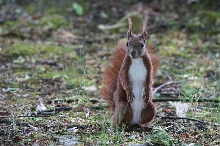 One Animal Animal Themes Mammal Field Animals In The Wild Animal Wildlife Nature Day Outdoors No People Fox Grass Full Length Close-up Squirrel Mammals Animals Pet Portraits