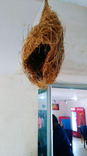 The Baya(Babui)Weaver Birds Nest At Dining OfRambha,Odisha