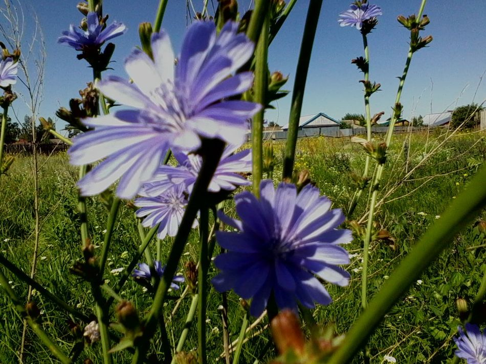 Chicory цикорий Russia Endive Yellow EyeEmNewHere Nature Blue Flower Purple Fragility Beauty In Nature Nature Growth Freshness Flower Head Plant Petal First Eyeem Photo Poppy Flowers Outdoors Field Close-up Blooming Day