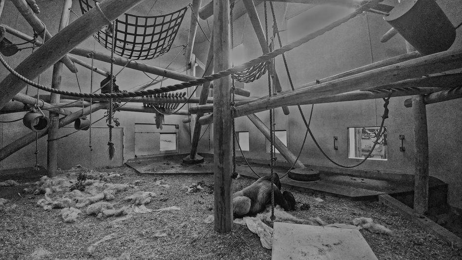 Blackandwhite Photography Black&white Silverback Gorilla Denver Zoo Gorilla In Zoo Gorilla Mother & Child Gorilla Eating Largerthanlife Gorilla Beautiful Animals