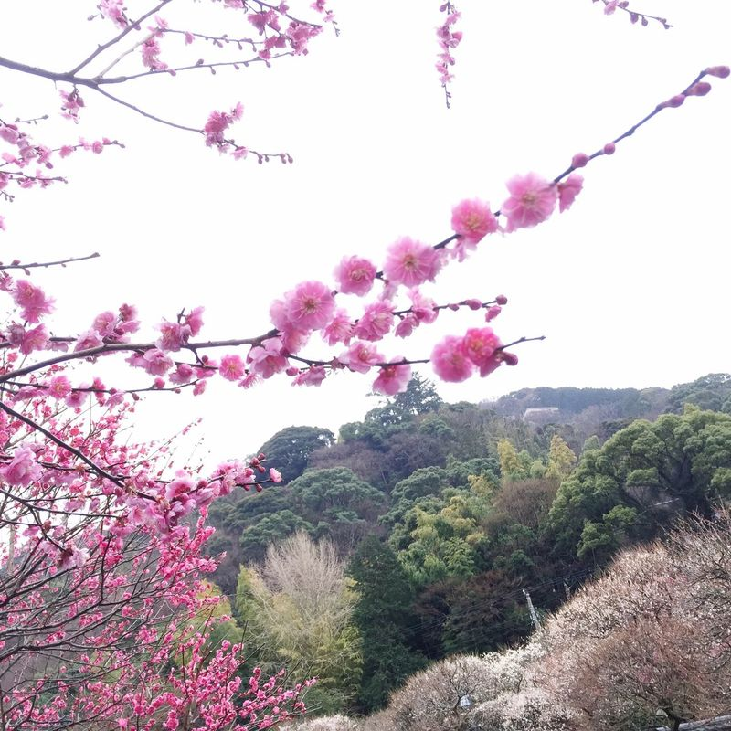 Ume Blossom Bloom Mountain Japanese Ume Tree Atami