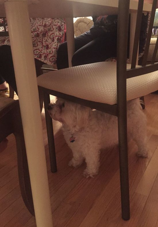 Perfect size for scrap patrol. Pets Domestic Animals Maltipoo Table Dinner Snack Time! Treat Dinner Table Chair Under A Chair One Animal Animal Themes Dog Indoors  Home Interior Mammal Low Section Point Of View Seated Waste Down Hunting Vacuum Hoover