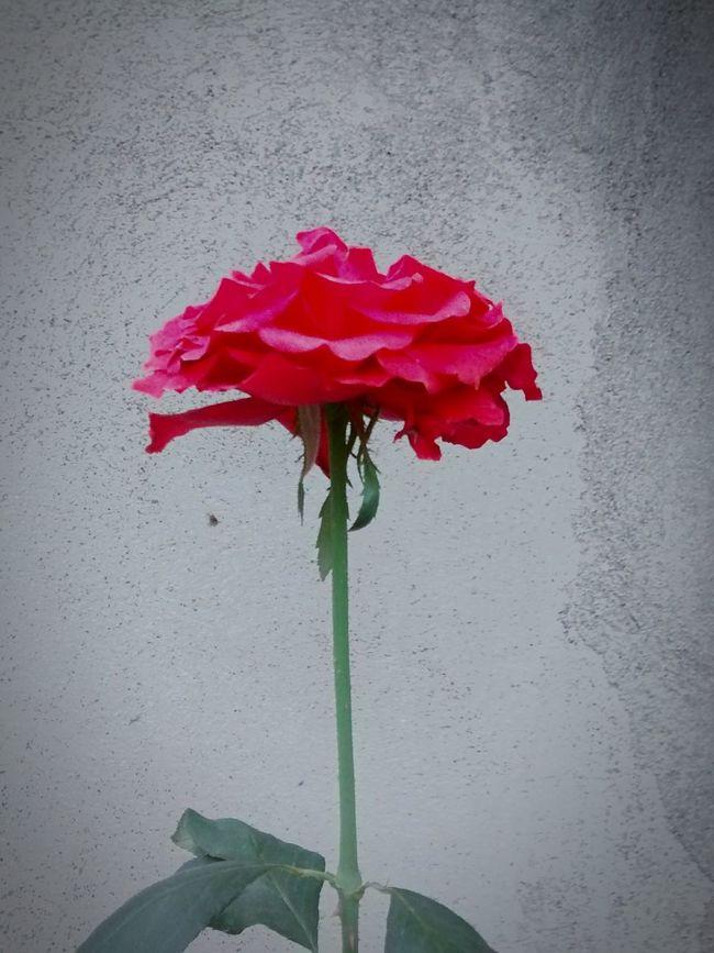 Flower Photography Flowers Garden Photography Guatemala City Pretty Madein502 U&i