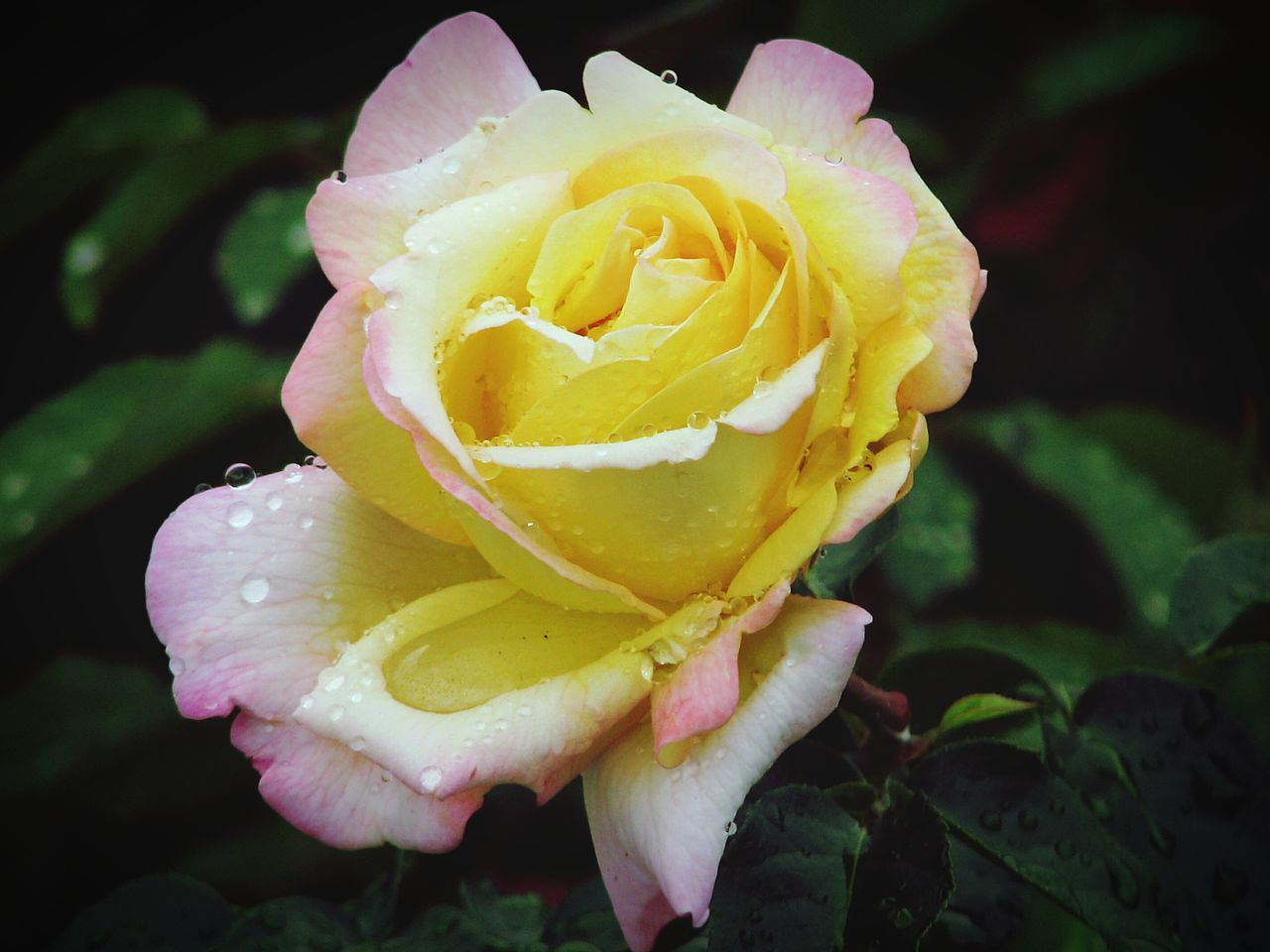 flower, petal, beauty in nature, nature, flower head, freshness, rose - flower, fragility, growth, plant, drop, close-up, no people, yellow, love, wet, outdoors, blooming, water, day
