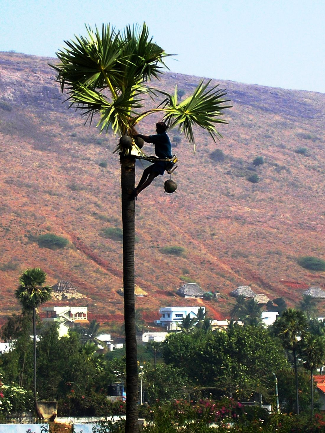Climber collecting toddy Climber Landscape Outdoors Palm Tree Toddy Collector Tree Trunk