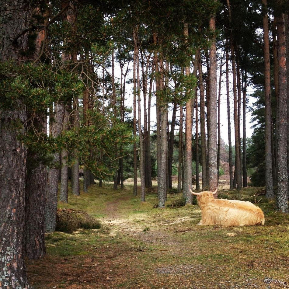 Highland Cow WoodLand Country