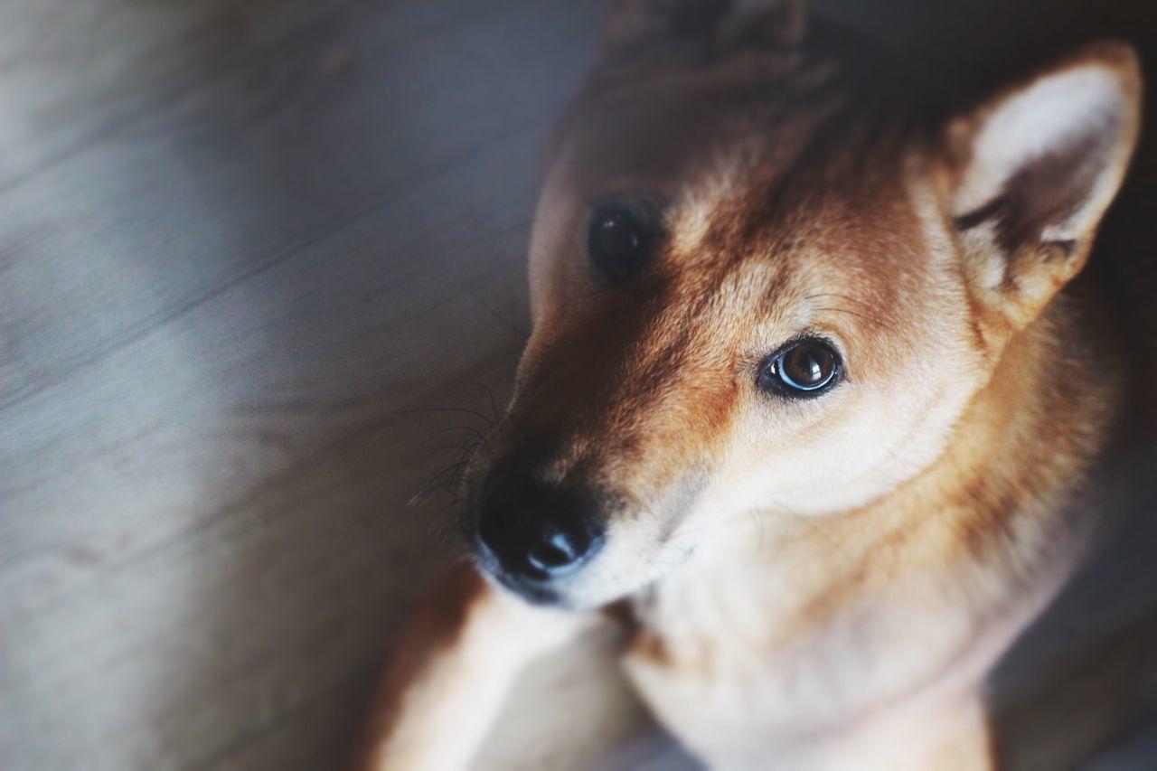 땅콩 Cute 강아지 개 시바견 시바이누 귀여움 Dog Pets Shiba Inu Animals