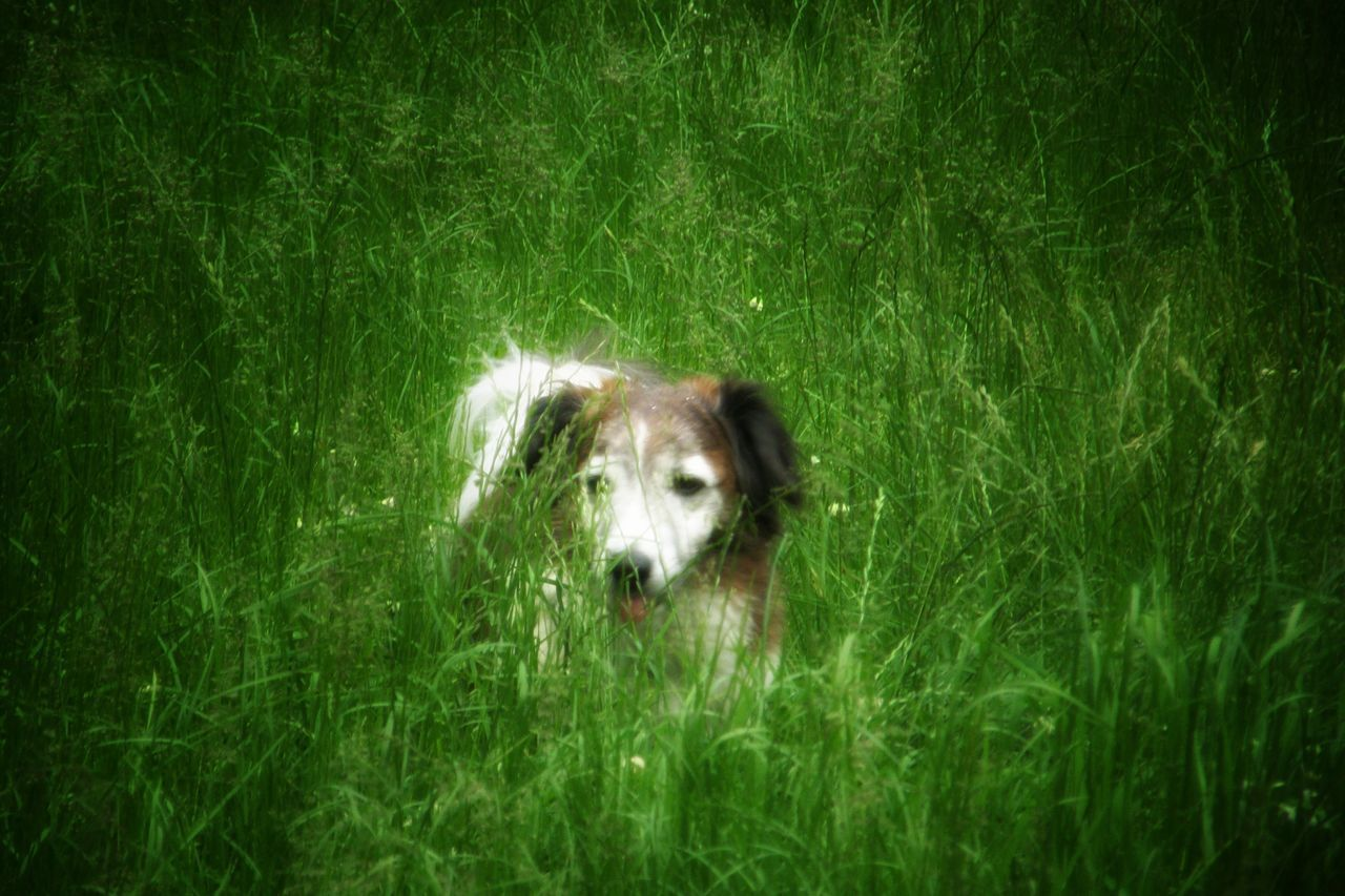 Grassland Green Color Freshness Dog❤ One Animal Outdoor Photography