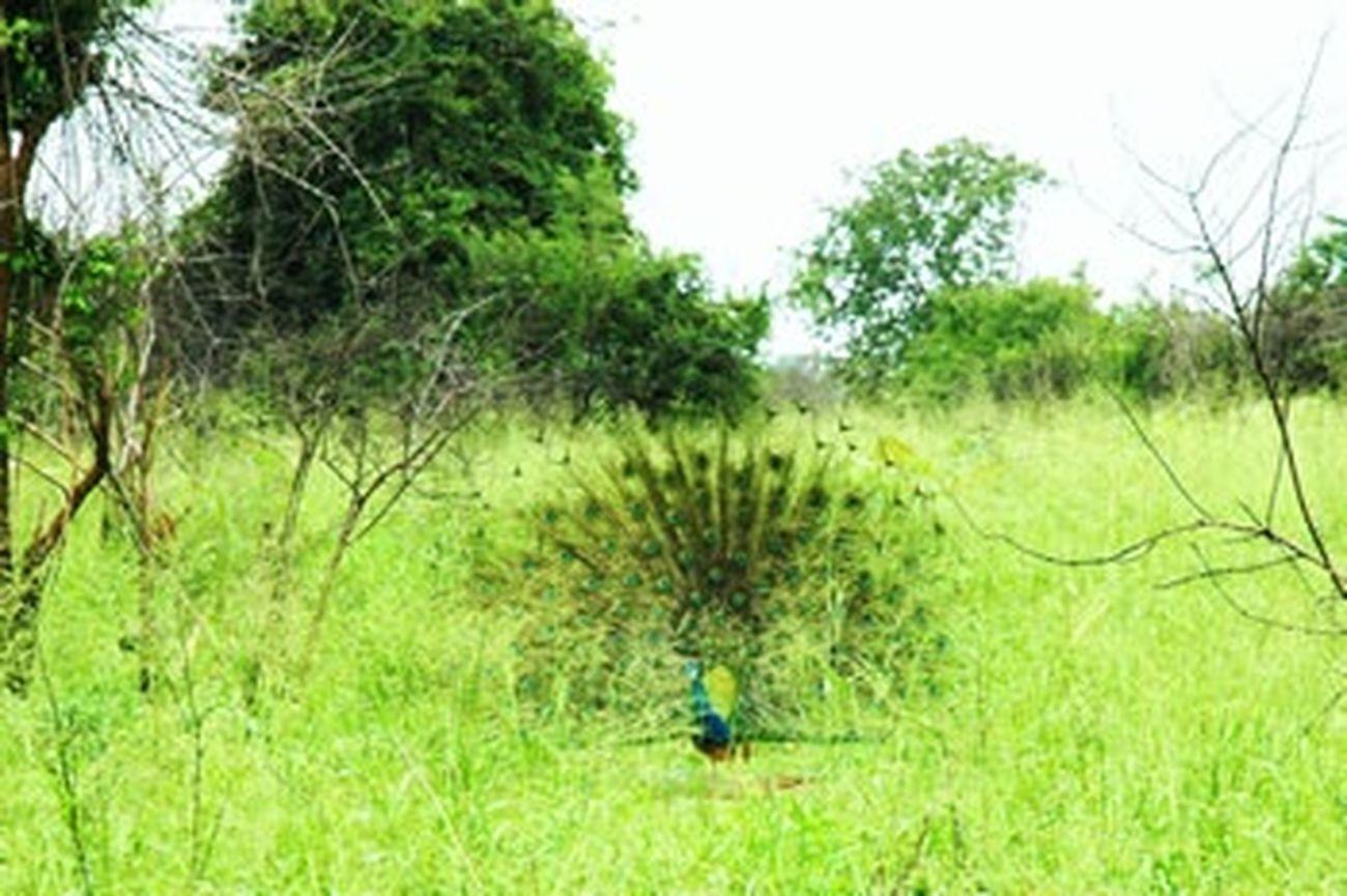 LastVacation Throwback❤ Peacock ! Beautiful Nature